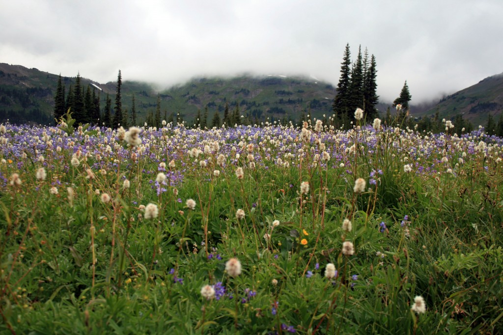 Wildflower filled meadow on Lily Basin trail between Snowgrass Flat and Goat Lake