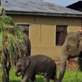 Nepal3ElephantBreedingCenter3 header