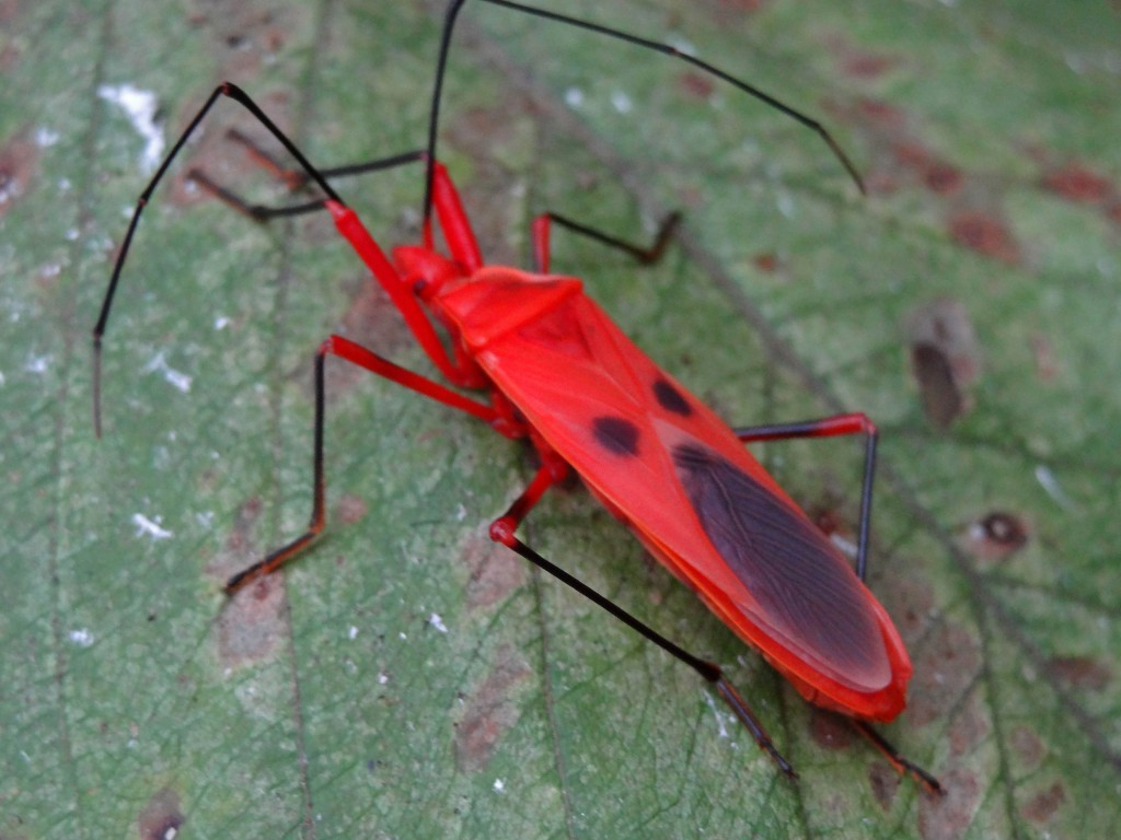 Red Cotton Bug at Chitwan National Park, Nepal