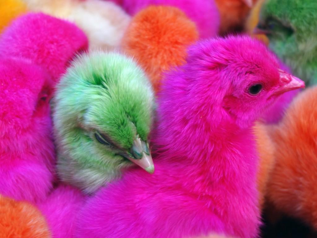 Sorong baby chicks