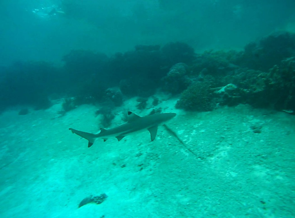 Sharks at Wayag