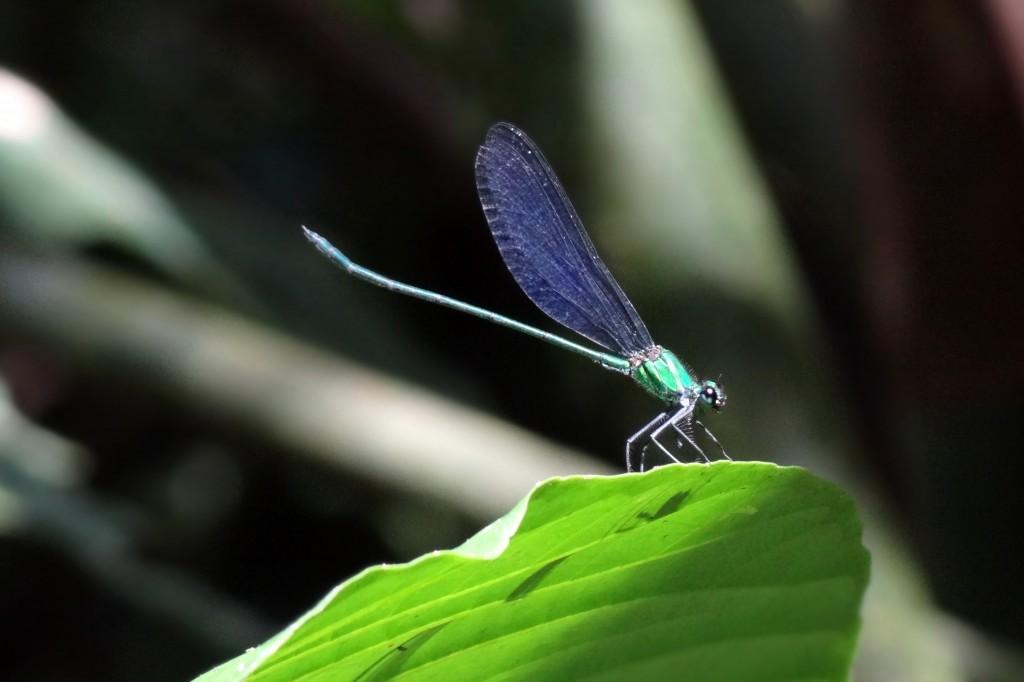 Malaysia, Gunung Mulu Dragonfly