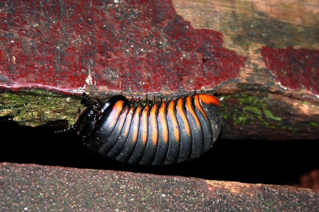 Malaysia, Mulu bug