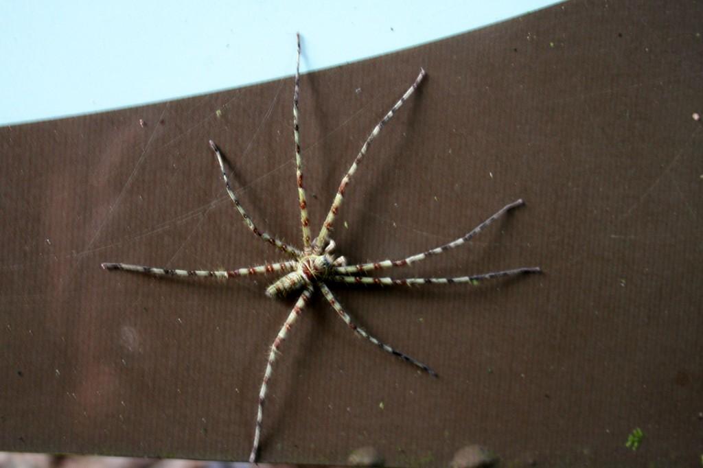 Malaysia, Gunung Mulu spider