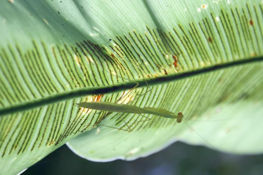 Malaysia Mulu bug