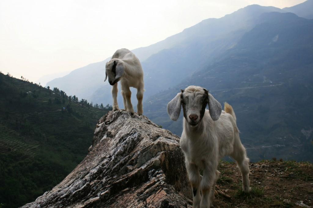Goats Annapurna Sanctuary