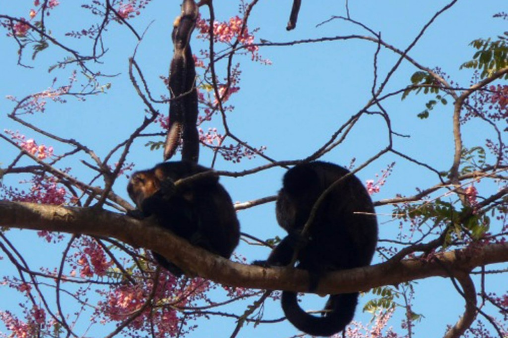 Howler monkeys on Ometepe