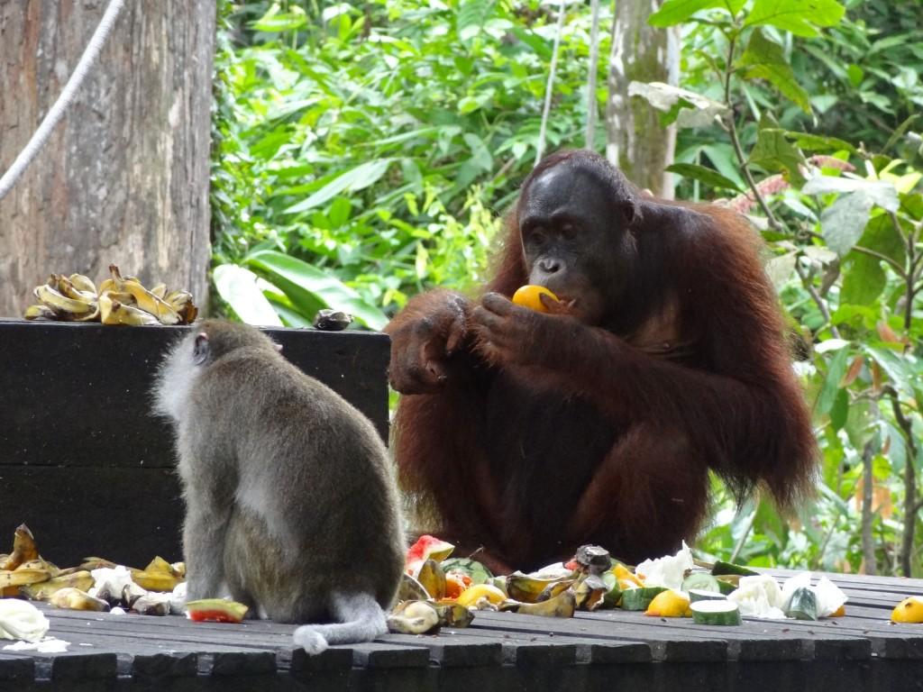Malaysia_Sepilok_Orangutan-1
