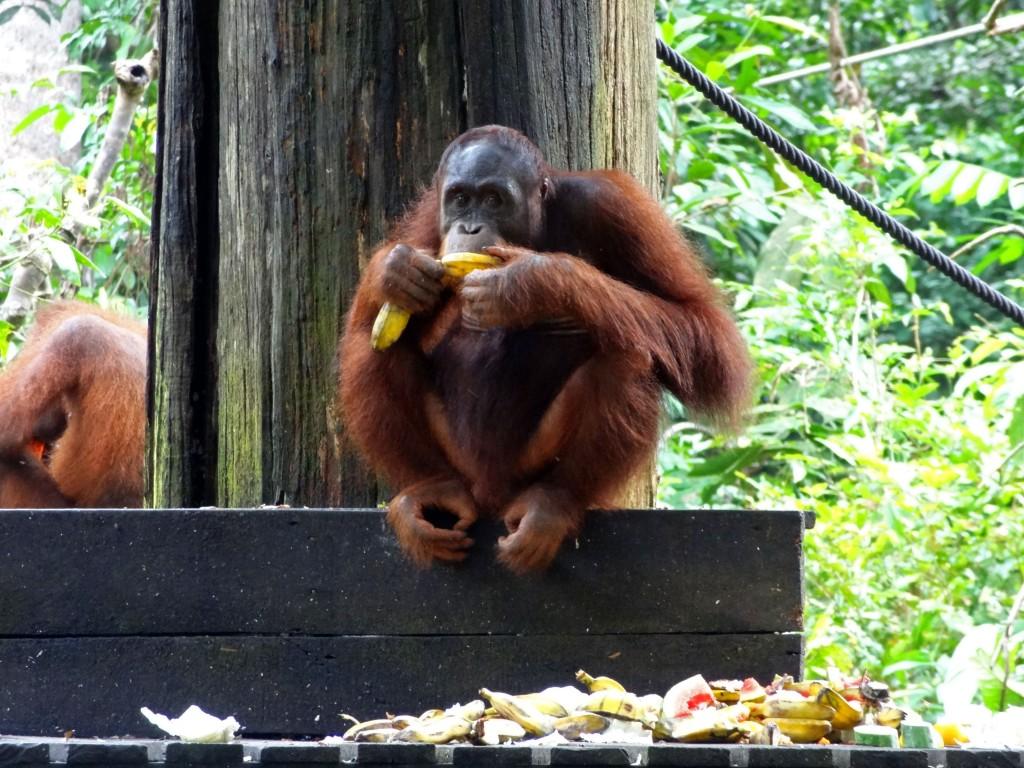 Malaysia_Sepilok_Orangutan-2
