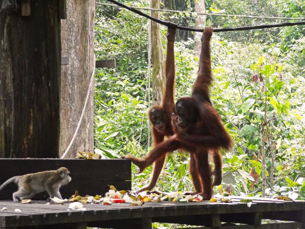 Malaysia-Sepilok_orangutan-4