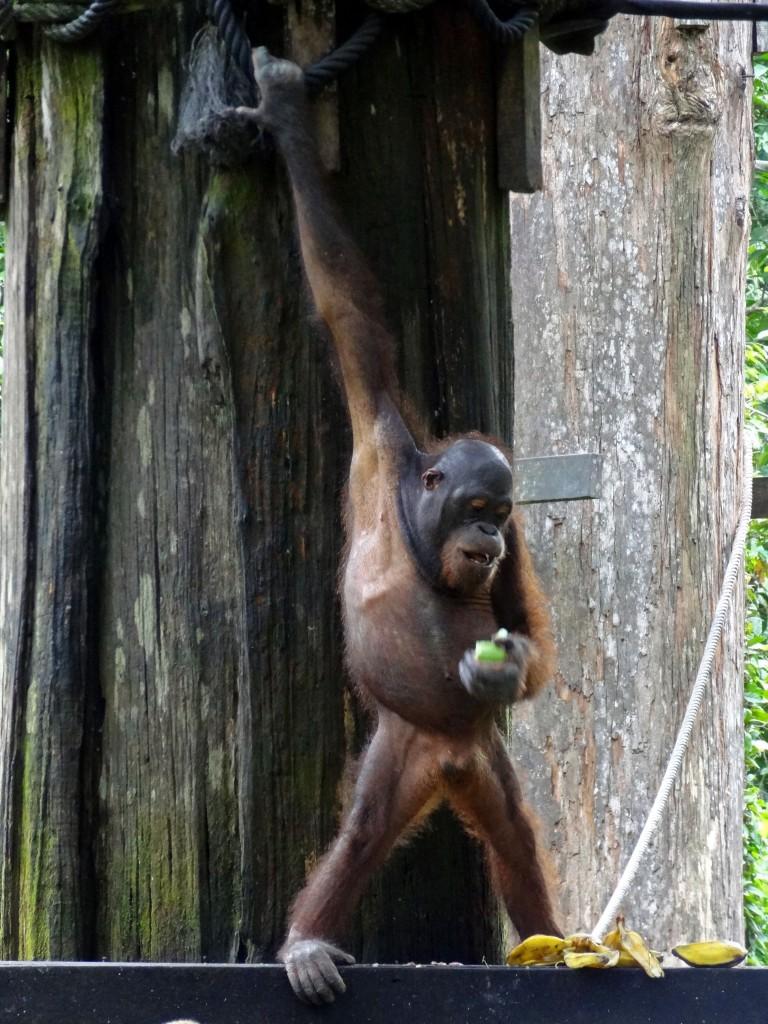 Malaysia-Sepilok_Orangutan-3