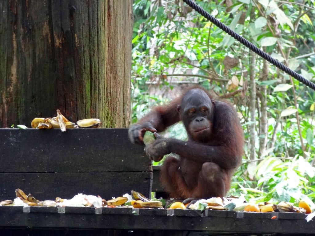 Malaysia-sepilok-orangutan-5