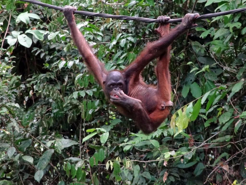 Malaysia-sepilok-orangutan-6