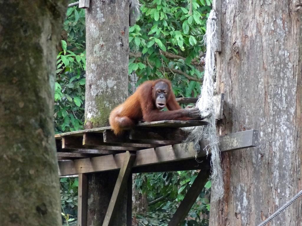Malaysia_Sepilok_Orangutan-7