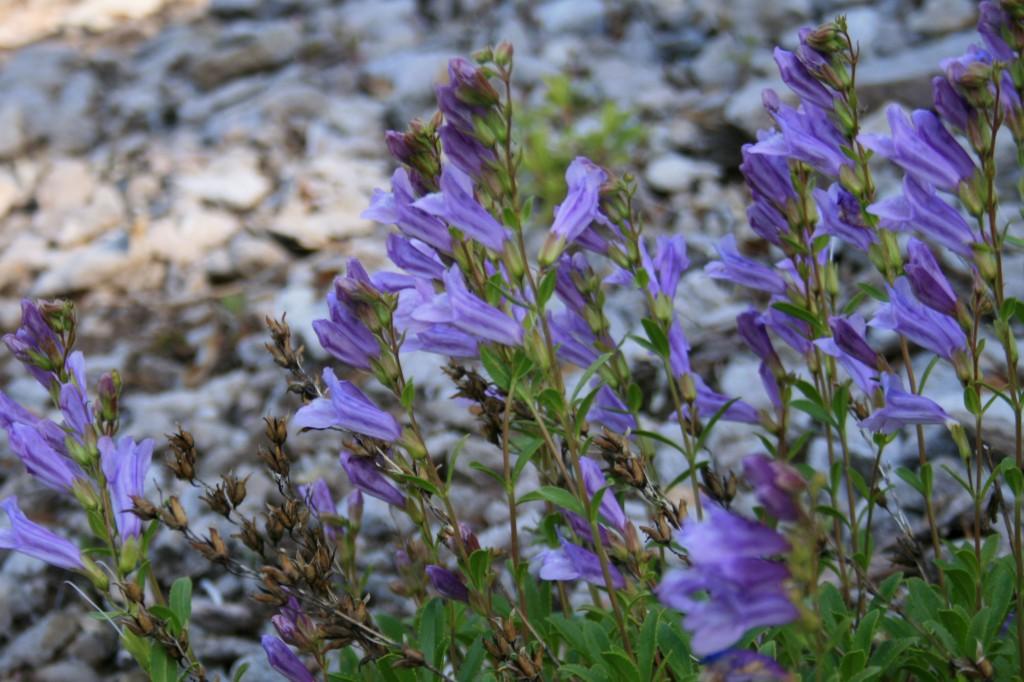 big-slide-lake-june-wildflowers