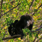 Howler monkeys... they were so fun to watch while practicing yoga.